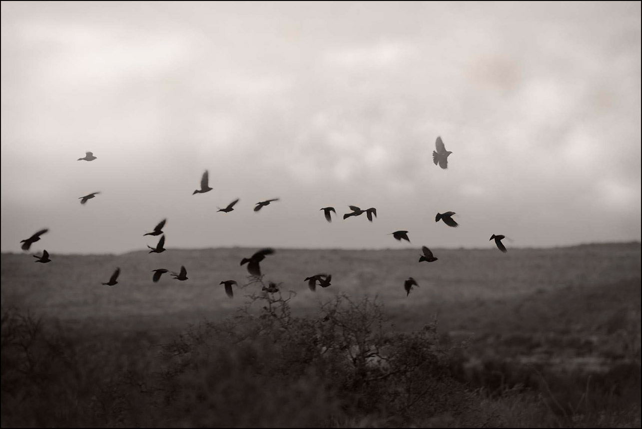 Blackbirds--