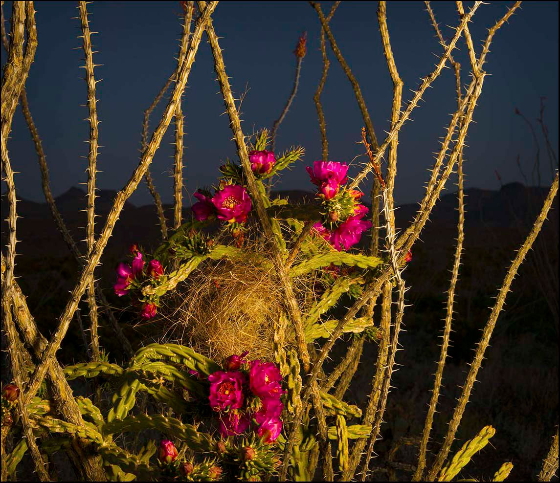 Cholla-and-Cactus-Wren-Nest