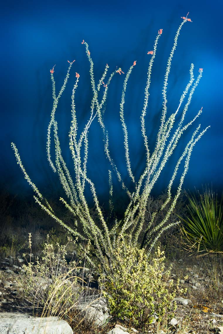Green Ocotillo