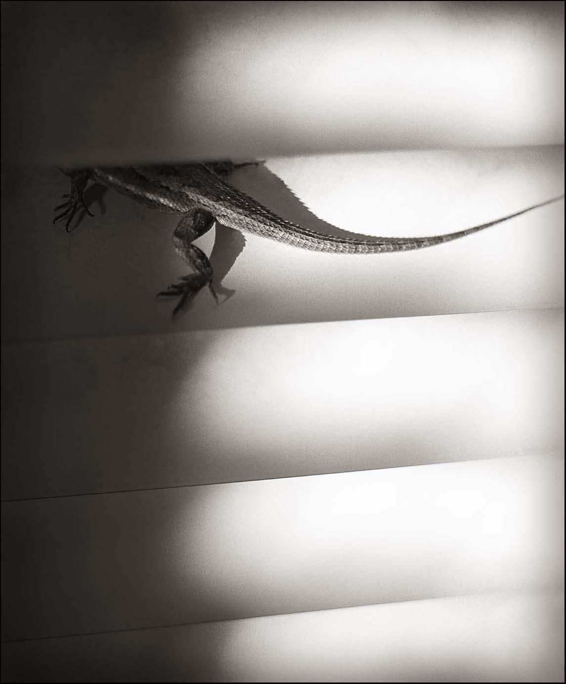 Lizard on Venetian Blind