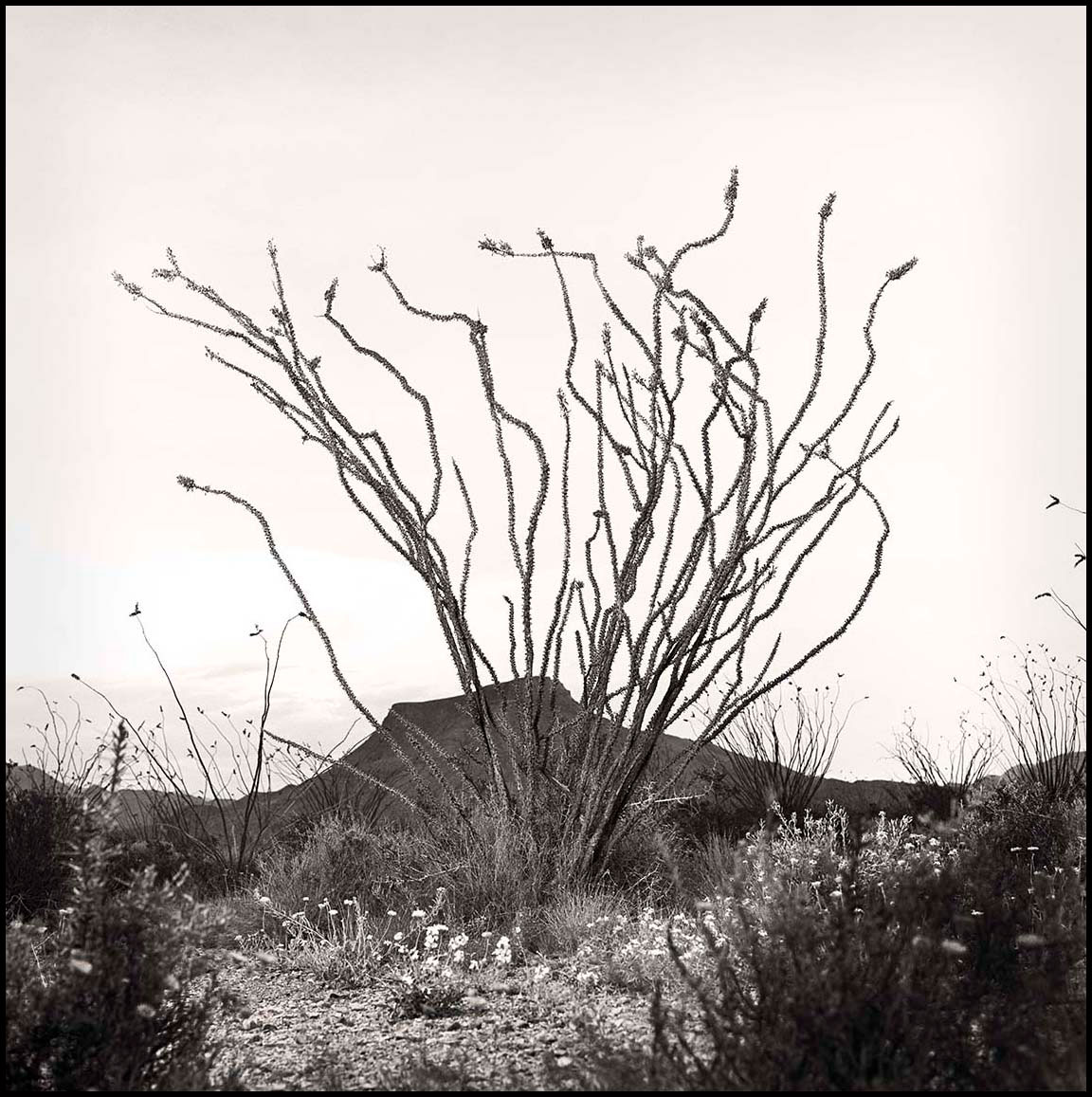 Ocotillo-Portrait