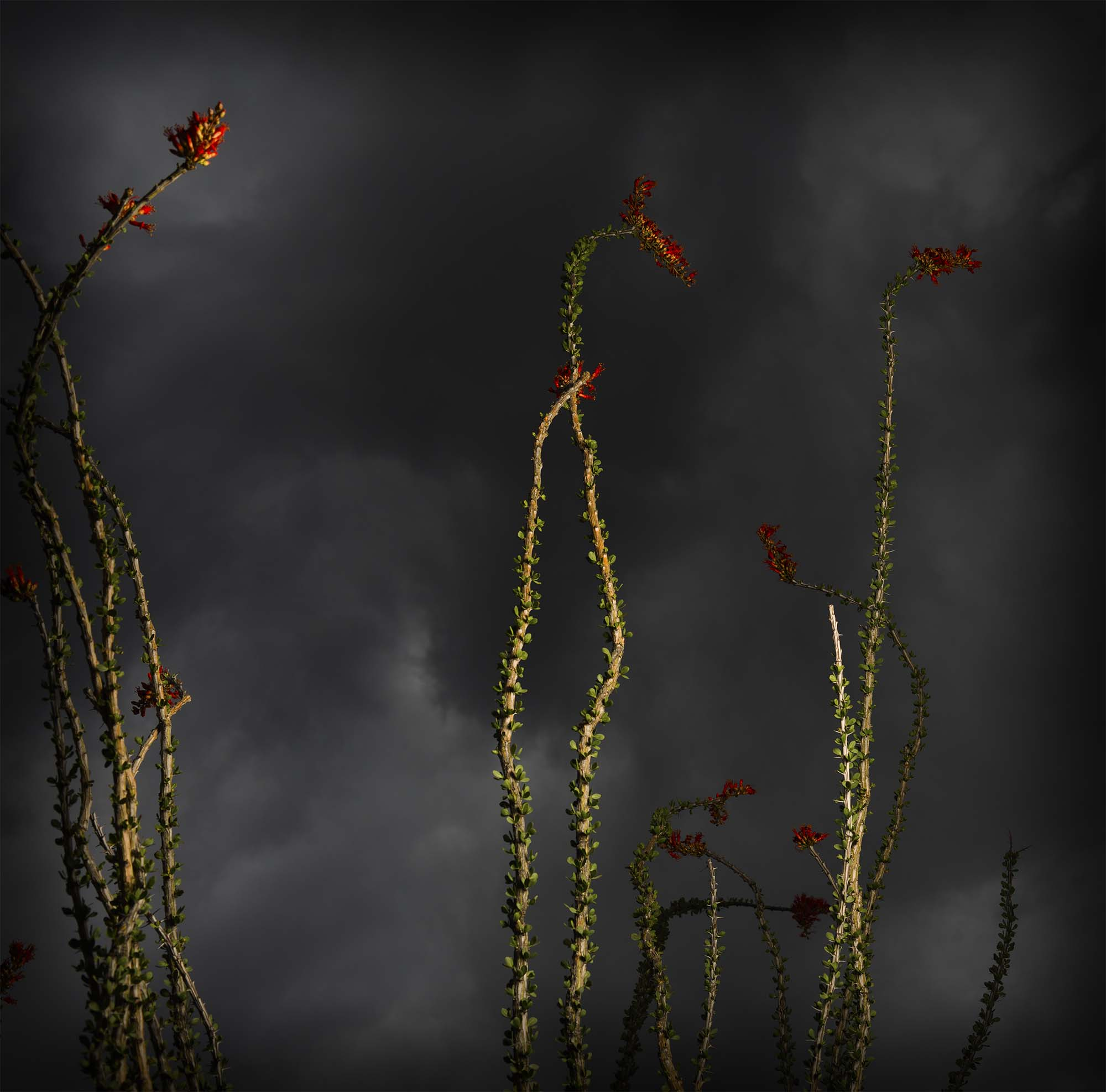 Ocotillo and Dark Sky