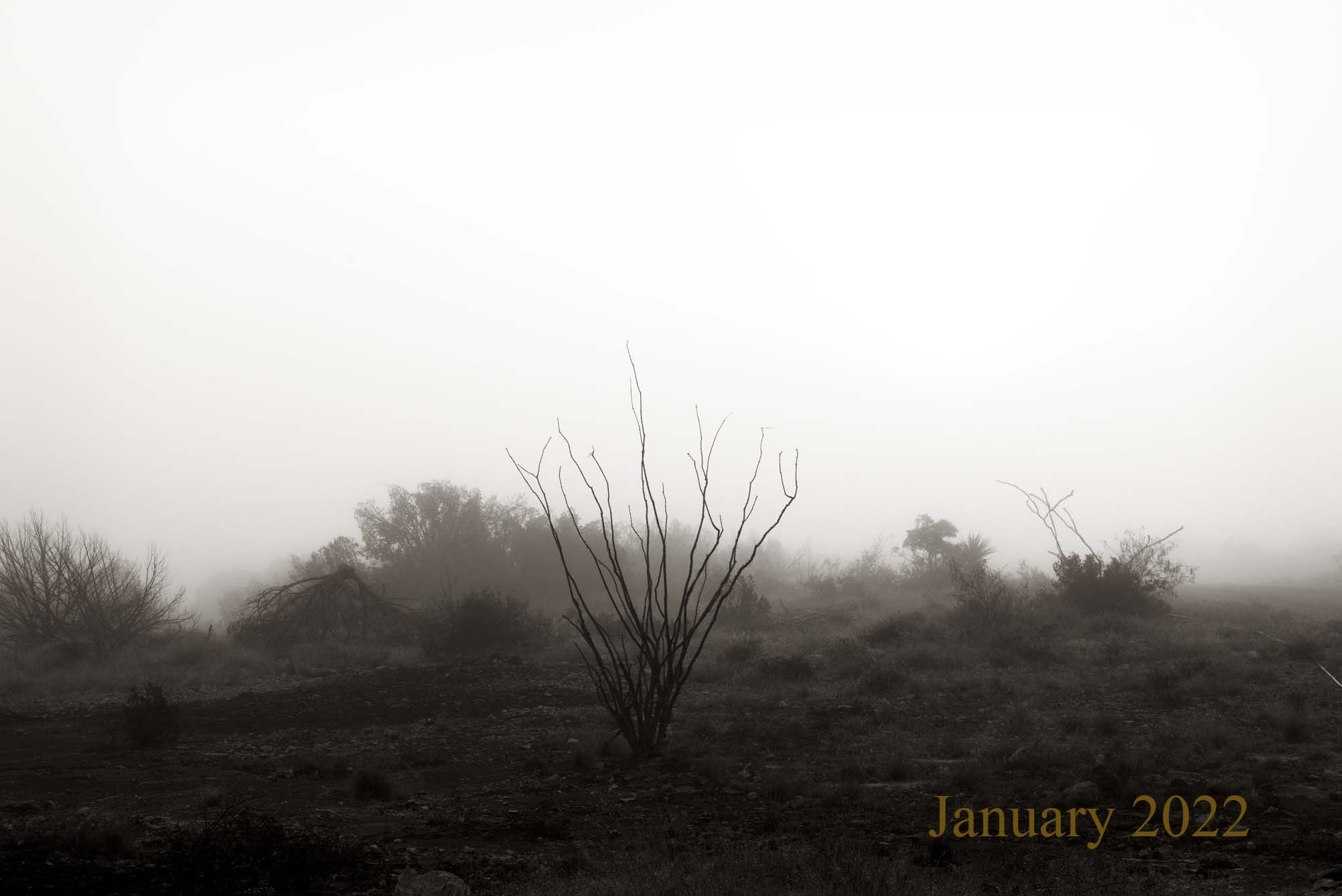 Ocotillo in Fog