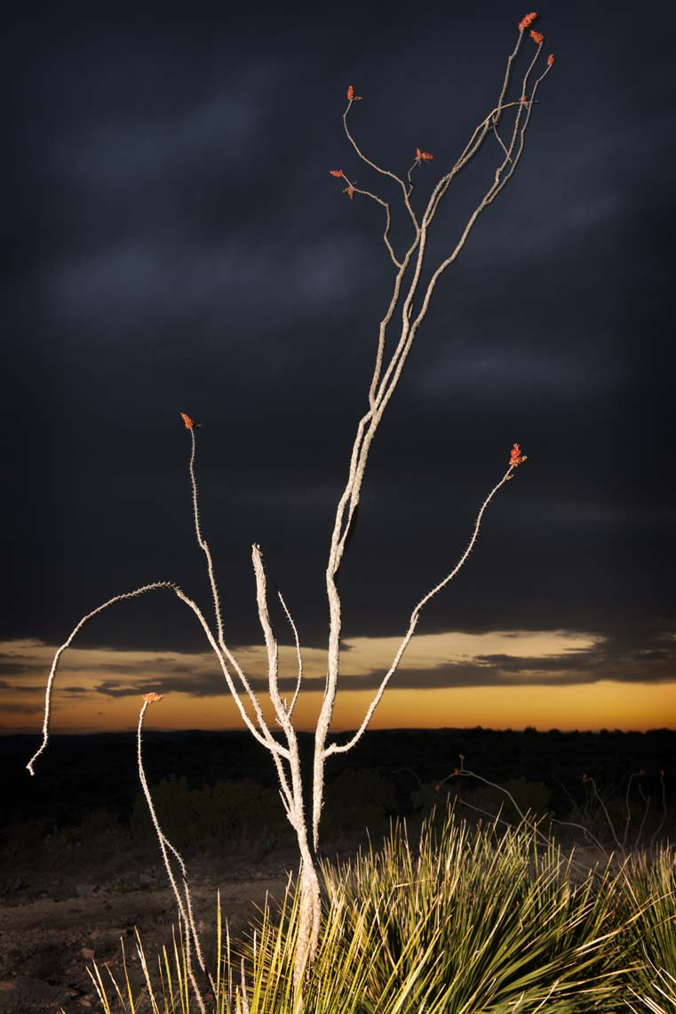 Ocotillo with Bent Branch