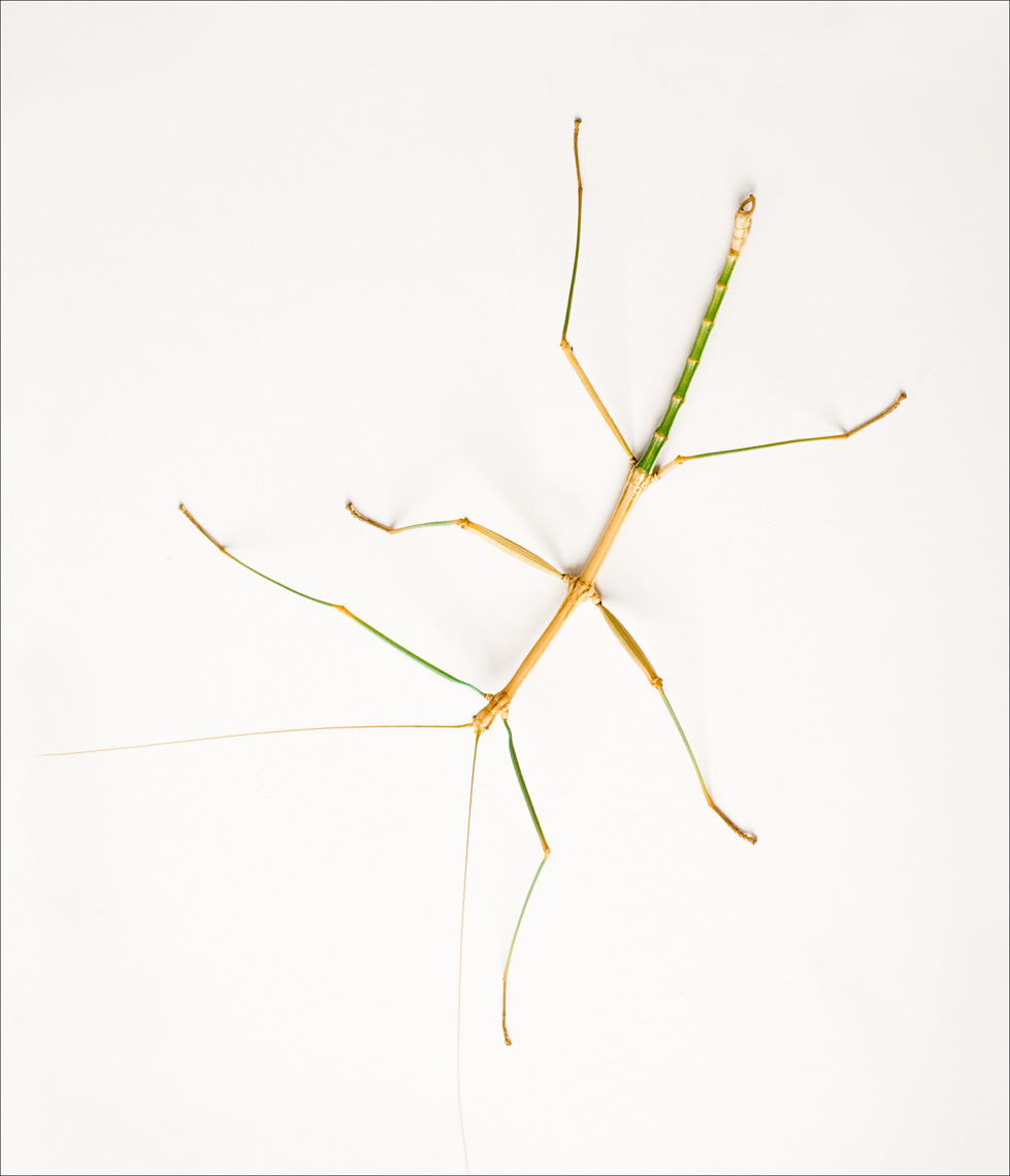 © James-H-Evans-Walking Stick