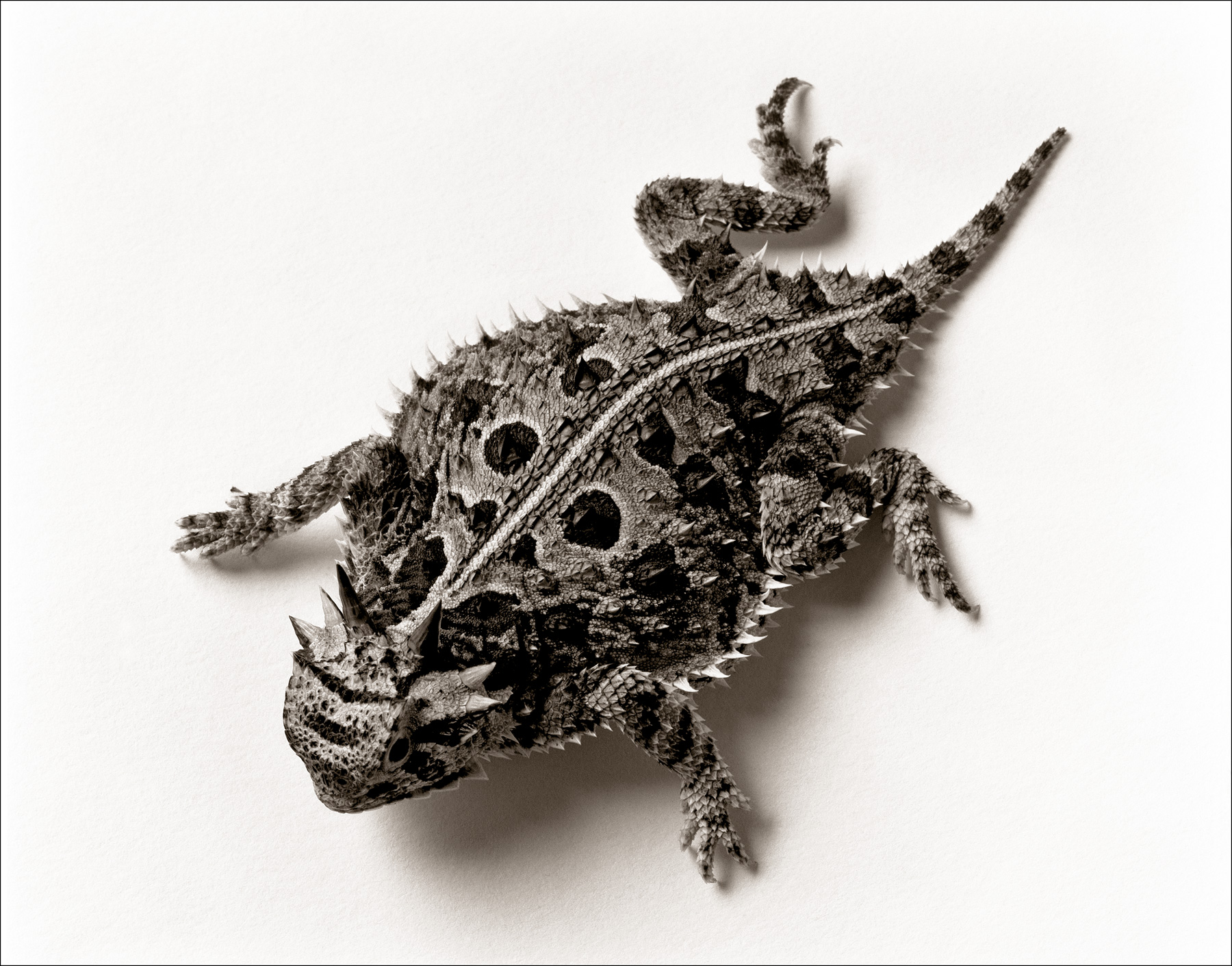 © James-H-Evans-Horned Lizard